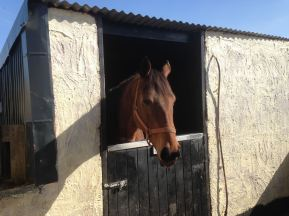 Lady Mary - a rescued ex-Racehorse